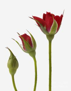 red-rose-flower-opening-sequence-mark-bowler